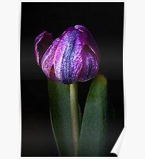 Mature Tulip Poster