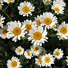 Daisies in a bed! by Shoshonan