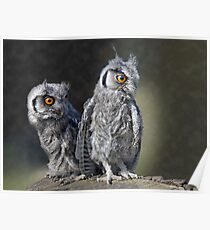 Baby Owls Poster