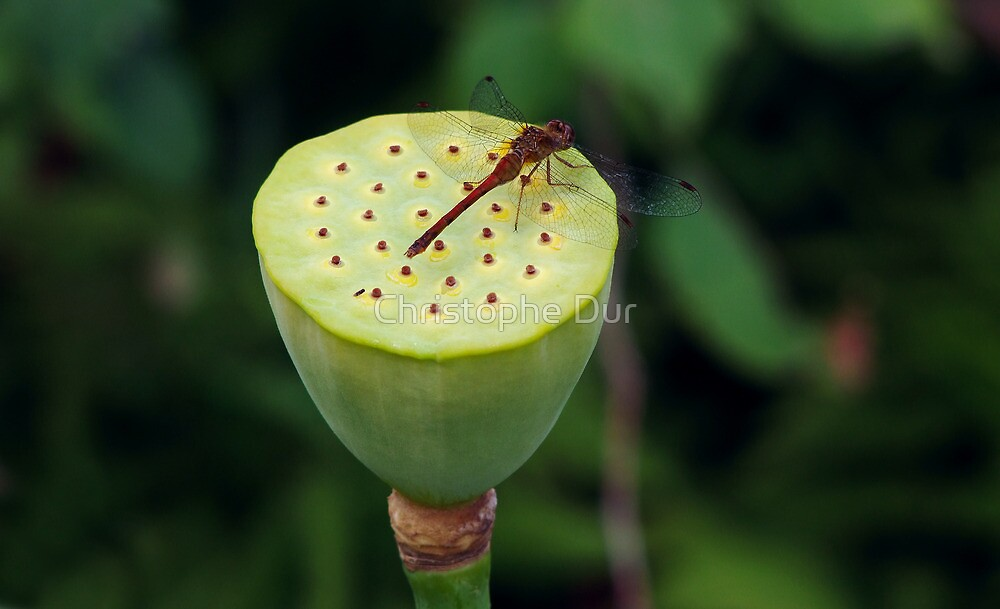 Dragonfly on a lotus by Christophe Dur