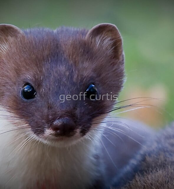 Stoat by geoff curtis