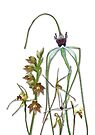 Orchids of Australia 1 Native orchids of Western Australia by Leonie Mac Lean