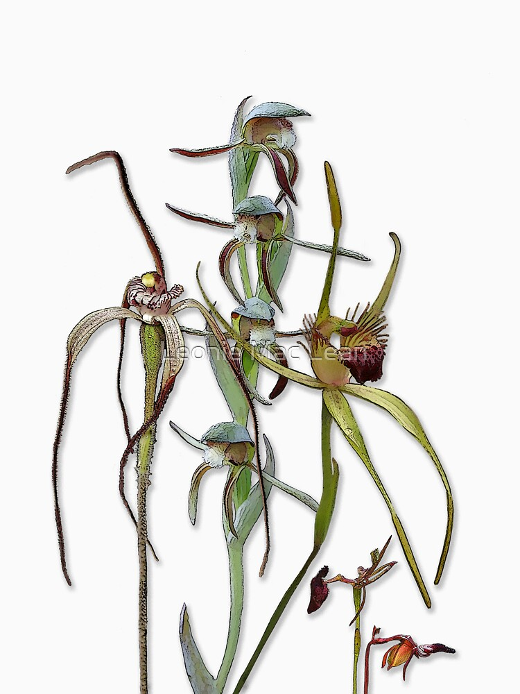 Orchids of Australia 5 Native orchids of Western Australia by yallmia