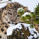 Young Snow Leopard in the snow.  by Henry Jager