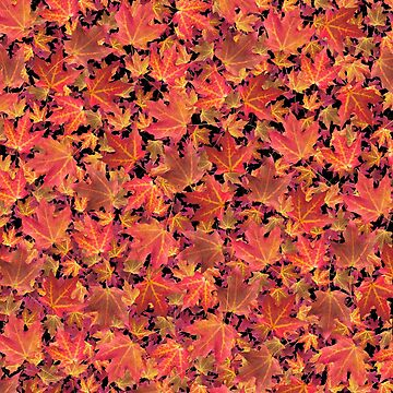 Autumn Leaves - The Maple Kind by mokacat