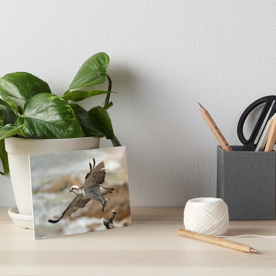 Osprey Takes Flight, Sunshine Coast Art Board Print