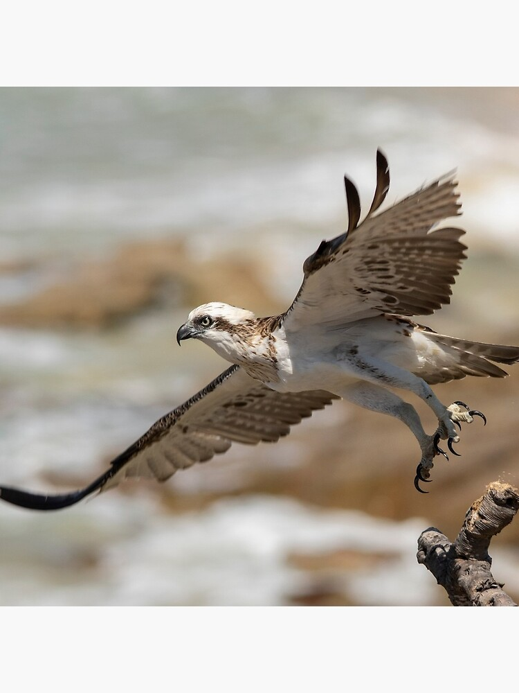 Osprey Takes Flight, Sunshine Coast by AndrewGoodall
