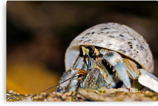 Hermit Crab - Coconut Crab by Henry Jager