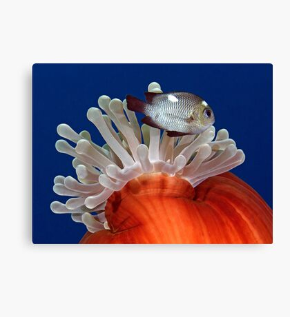 False Nemo Canvas Print