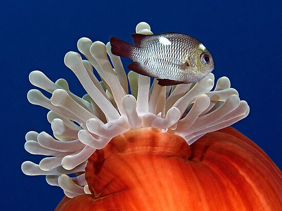 False Nemo by Henry Jager
