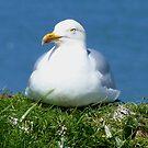 Herring Gull, Yorkshire Coast by mcworldent