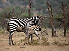 Suckling Zebra by Henry Jager