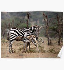 Suckling Zebra Poster