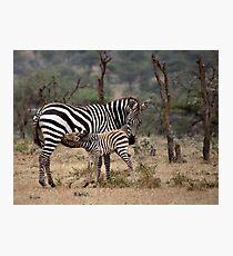 Suckling Zebra Photographic Print