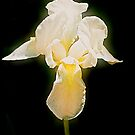 Single yellow Iris with long beard by tinymystic