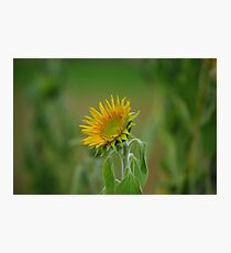 a single sunflower Photographic Print