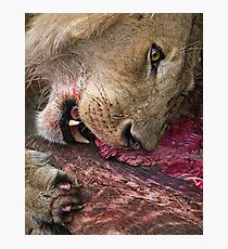 Lion's Meal Photographic Print