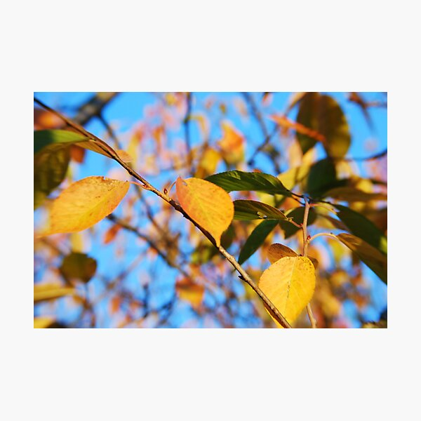 Leaves of Gold Photographic Print