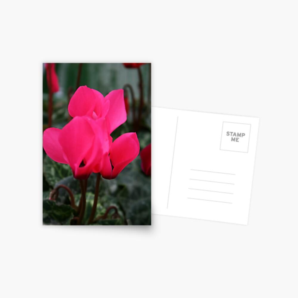 Cyclamen Postcard