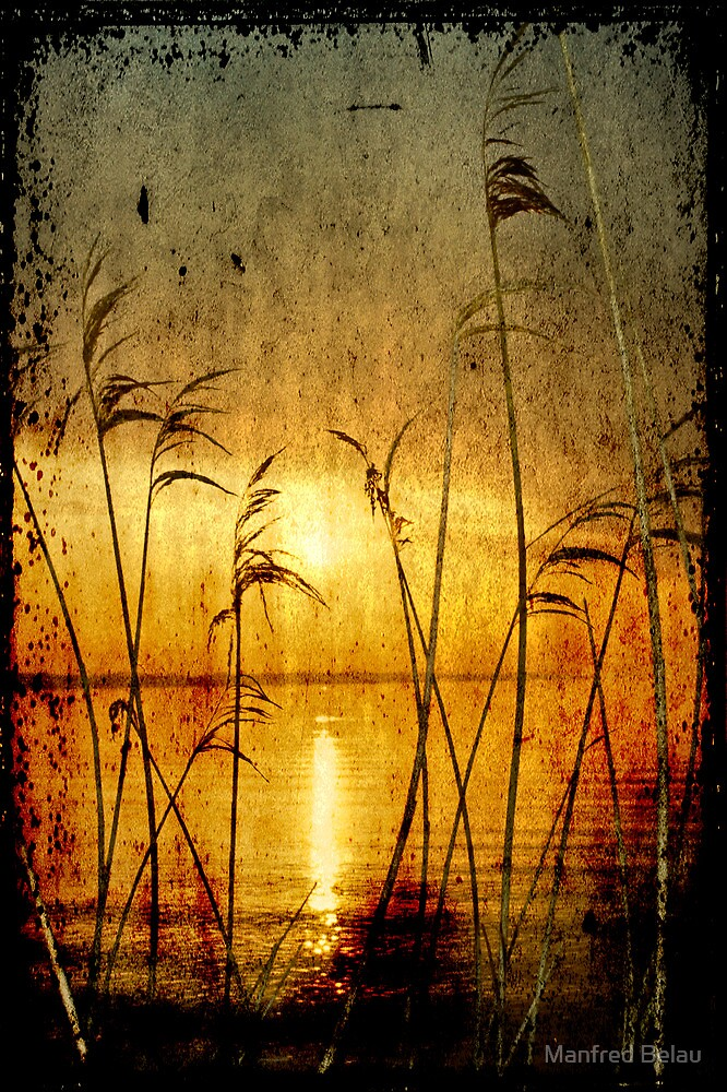 Reeds bathing in evening sun light by Manfred Belau
