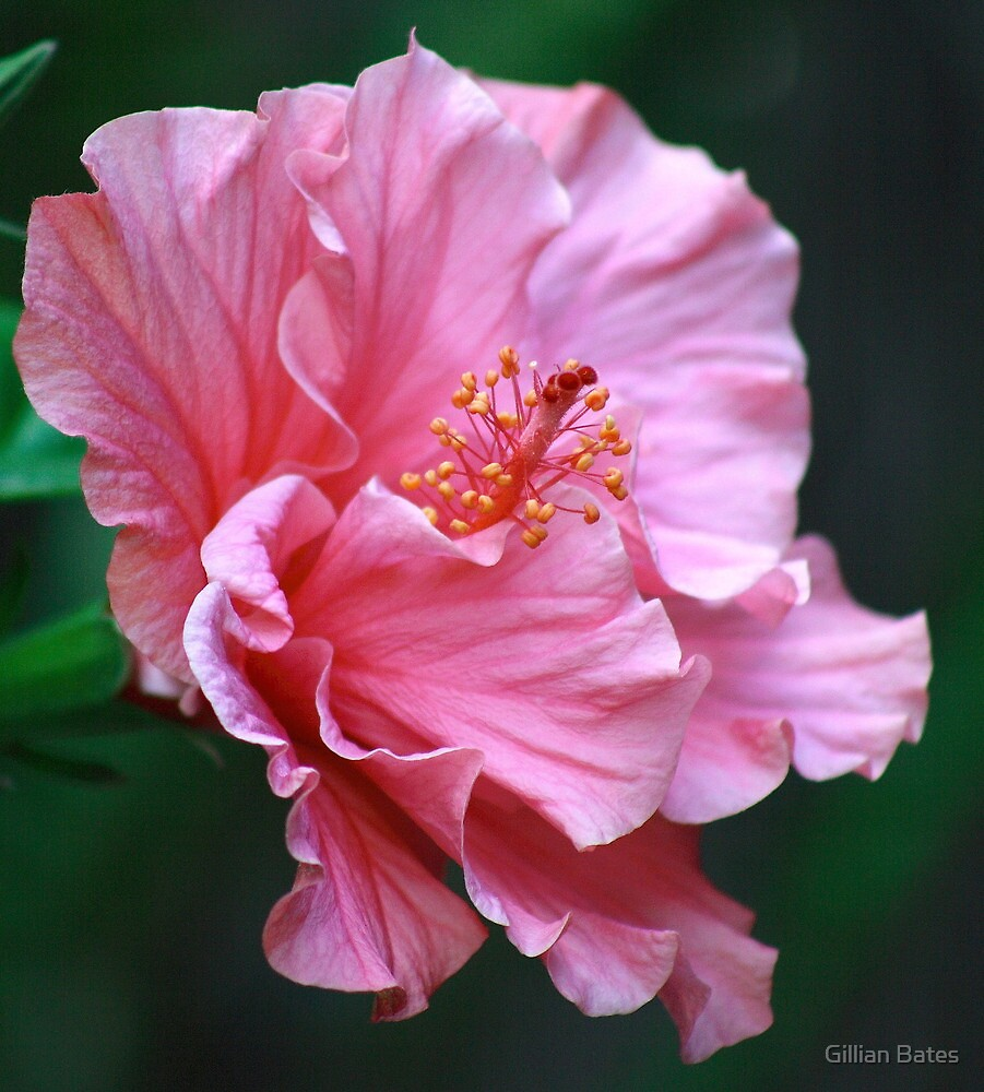Quot Pink Double Hibiscus Flower Quot By Gillian Bates Redbubble