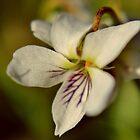Northern White Violets V by Kathleen Daley