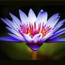 Waterlily Wonder by Kym Howard