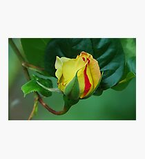 Peace Rose Bud Photographic Print