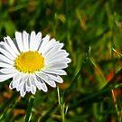 Daisy Daisy by Lisa Kent