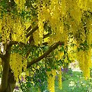 Yellow Laburnum by Terry Krysak