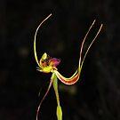 Caladenia lobata by Colin12