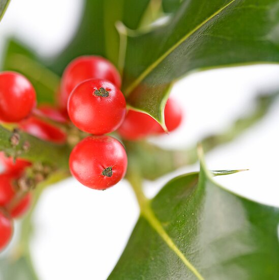 Holly Berries by Sarah-Jane Covey
