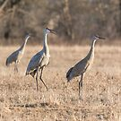 Sandhill Cranes 2018-3 by Thomas Young