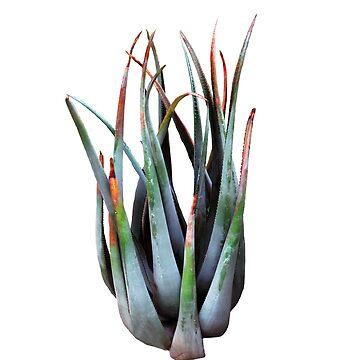 Aloe  by Manitarka