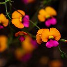 Heart Leaf Flame Pea, Western Australia by LifeImages