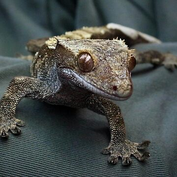 Crested gecko by missmoneypenny