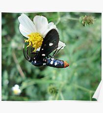 Polka-dotted Wasp Moth Poster