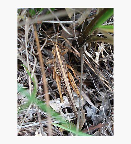 Grasshopper incognito Photographic Print