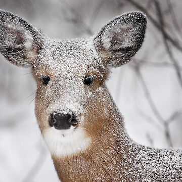 I hate snow! - White-tailed Deer by darby8