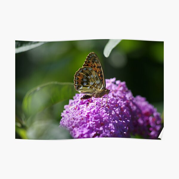 Dark Green Fritillary Butterfly Poster