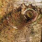 BIrch tree bark rings by Chris Warham