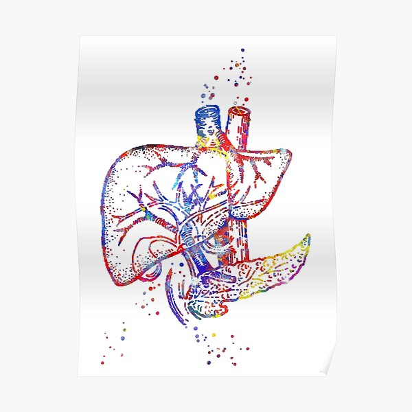 Liver, human organs, liver art, liver anatomy, human liver anatomy Poster