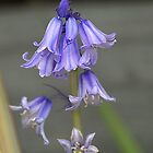 Bluebells are here again.......!! by Roy  Massicks
