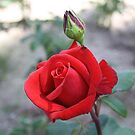 Perfect Rose by EHAM-spotter