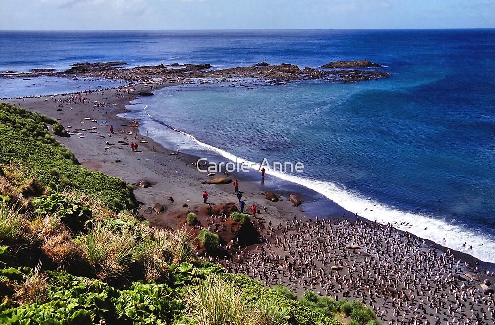 Sandy Beach, Macquarie Island by Carole-Anne