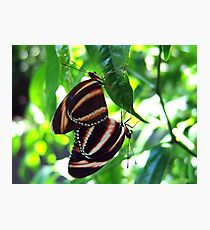 Orange Banded Butterflies - Cockrell Butterfly House Photographic Print