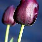 Tulip - Queen of the Night by Bev Pascoe