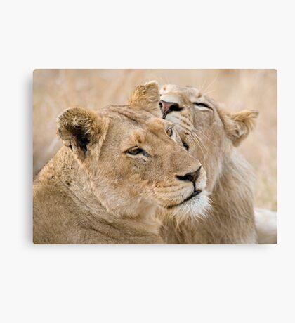 Lionesses Telling Secrets Canvas Print