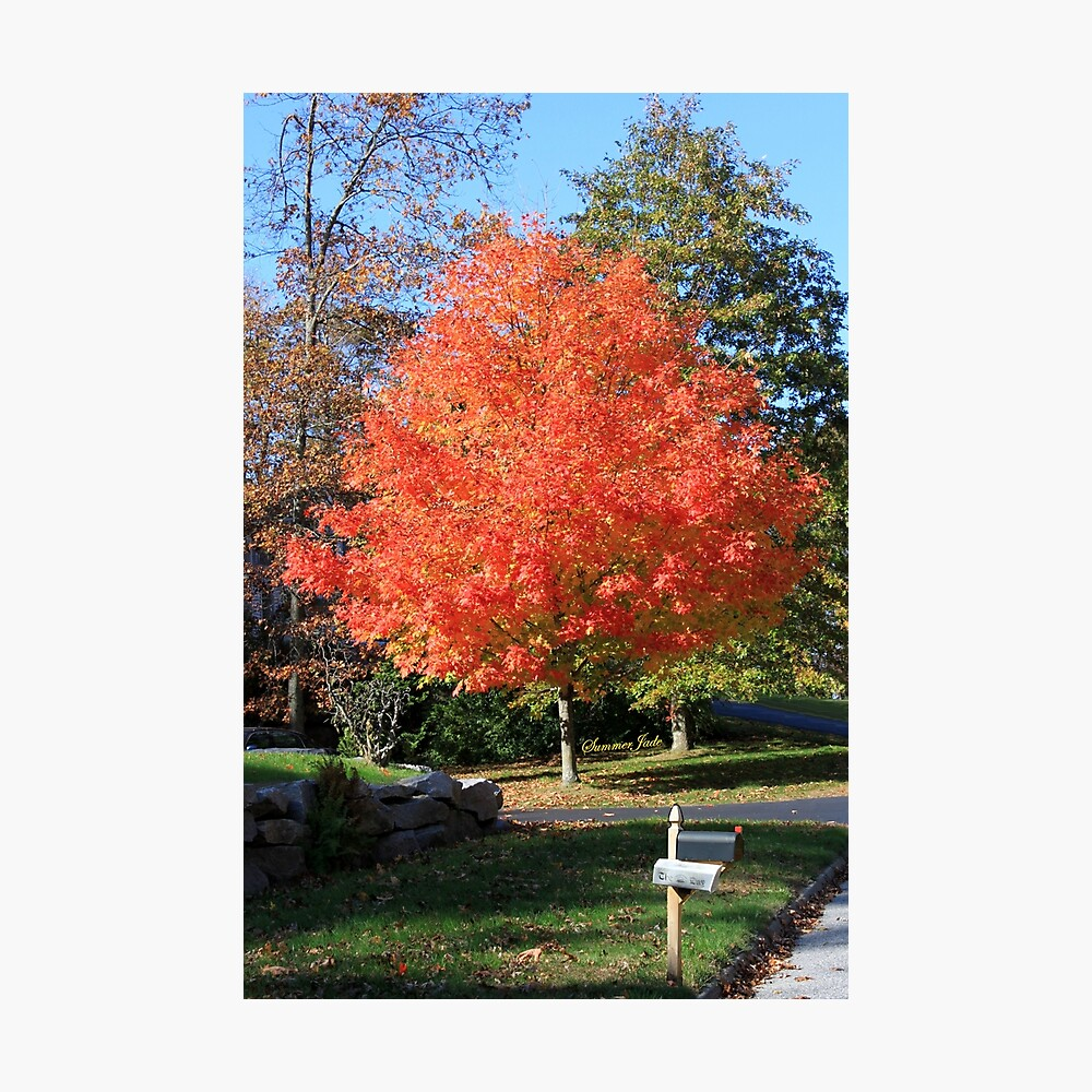 Showstopper ~ A Maple in Fall Glory Photographic Print