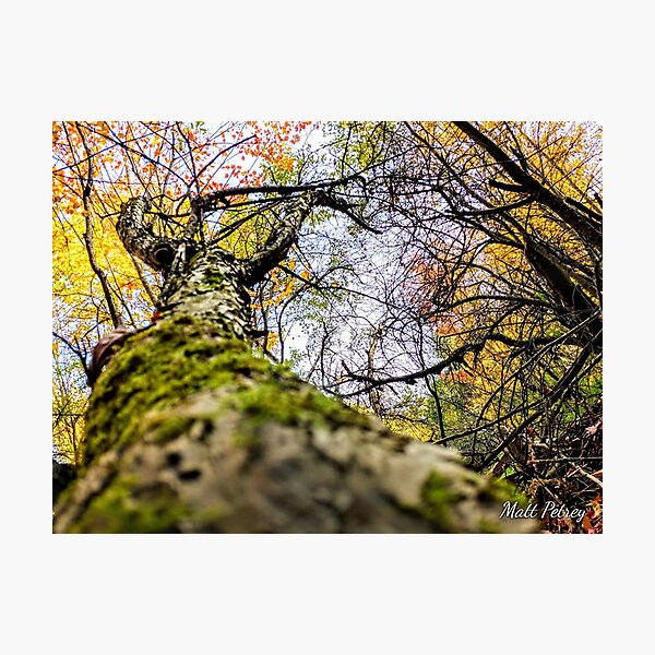 Fall up a tree Photographic Print